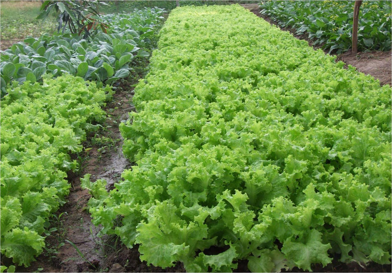 ผักเกษตรอินทรีย์